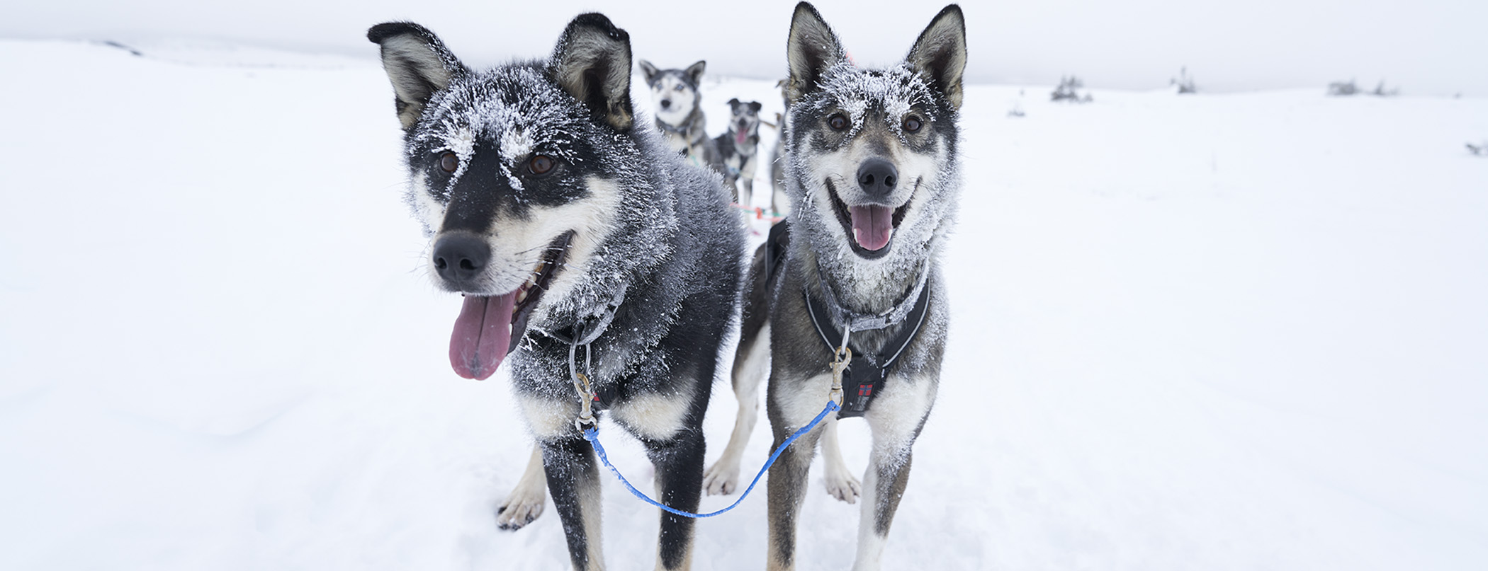 DogSled racing dogs QRILL Pet