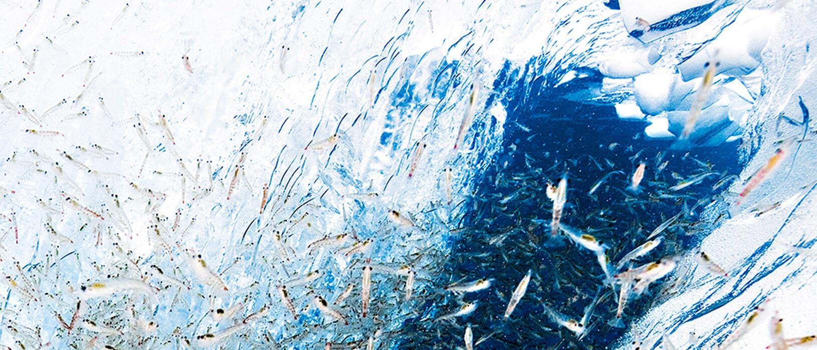 Antarctic Krill ingredient for Pet food.jpg